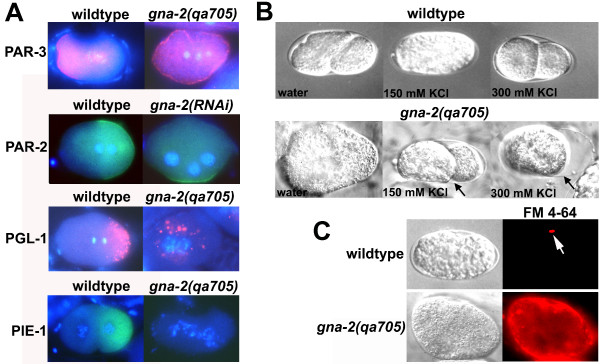 GNA-2 deficiency results in a polarity-osmotic defective (Pod) phenotype . (A) Wild type or gna-2(qa705) stained for DNA (Hoechst stain; blue) and PAR-3 (pink), PGL-1 (pink) or PIE-1 (green), or wild type expressing PAR-2::GFP fed OP50 (control) or gna-2 RNAi and stained for DNA (Hoechst; blue) and GFP (green) (second row). Embryos are at the one-cell stage except wild type stained for PIE-1, which is at the two-cell stage. Wild-type embryos are oriented with anterior (maternal DNA, polar-body end) on the left. gna-2(qa705) or gna-2(RNAi) does not extrude polar bodies therefore it was not possible to determine the maternal end. Images are overlays of Hoechst and antibody staining. (B) <t>DIC</t> images showing osmotic sensitivity of wild type or gna-2(qa705) dissected in water, 150 mM <t>KCl</t> or 300 mM KCl. Arrows point to the eggshell. (C) Plasma-membrane staining of gna-2(qa705) with the lipophilic dye, FM 4–64 (red). In wild type, only the first polar body stains (white arrow). DIC images are shown on the left.