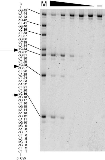Cleavage of a phiX174-based oligonucleotide by Endo IV. A 45 base oligonucleotide based on the sequence of phiX174 ssDNA and labeled at the 5′ end with Cy5 was used as the substrate at a concentration of 10 μM for assay of the activity of Endo IV (6.6, 3.3, 1.3, 0.66 or 0.33 μg/ml). The reaction products were separated by electrophoresis on a 10% polyacrylamide gel containing 7 M urea and visualized with an image analyzer. Lane (–) represents a reaction mixture incubated in the absence of enzyme. Lane M represents a mixture of oligonucleotides labeled at the 5′ end with Cy5 and with sequences identical to those of residues 1–18, 1–27, 1–32, 1–34, 1–38, 1–41 and 1–45 of the substrate. Cleavage sites of the substrate are indicated by arrows with a size proportional to the relative extent of cleavage at the corresponding position. Each dC in the substrate sequence is shown in boldface.