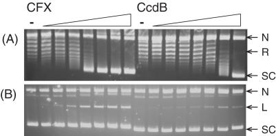CcdB can inhibit catalytic relaxation of DNA by gyrase. Negatively supercoiled pBR322 (3.5 nM) was incubated with gyrase (20 nM) and various concentrations of CFX and CcdB (0, 0.1, 0.2, 0.5, 1, 2, 5 and 10 μM) as indicated, for 4 h at 25°C. Assays were either ( A ) stopped or ( B ) cleavage complexes were revealed by the addition of SDS and proteinase K and incubation at 37°C for 30 min. DNA was subjected to phenol extraction and analysed on 1% agarose gels run in the (A) absence or (B) presence of ethidium bromide (1 μg/ml).
