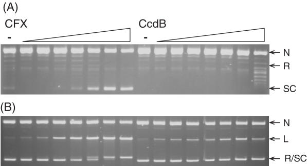 CcdB can inhibit the ATP-independent relaxation of DNA by an A 2 B47 2 gyrase complex. Negatively supercoiled pBR322 (3.5 nM) was incubated with A 2 B47 2 complex (200 nM) and various concentrations of CFX and CcdB (0, 0.1, 0.2, 0.5, 1, 2, 5 and 10 μM) as indicated, for 2 h at 37°C. Assays were either ( A ) stopped or ( B ) cleavage complexes were revealed by the addition of SDS and proteinase K and incubation at 37°C for 30 min. DNA was subjected to phenol extraction and analysed on 1% agarose gels run in the (A) absence or (B) presence of ethidium bromide (1 μg/ml).