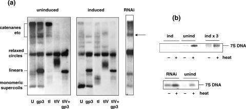 Effects of TFAM overexpression and knockdown on mtDNA topology. One-dimensional agarose gel blots, hybridized with O H probe. ( a ) mtDNA from uninduced cells and from cells induced to overexpress TFAM-stop for 48 h, fractionated on a 0.4% agarose gel run in TBE. Only the high molecular weight portion of the gel is shown. Samples were either untreated (U) or treated with T7 gp3 endonuclease (gp3), topoisomerase I (tI), topoisomerase IV (tIV) or topoisomerase IV plus T7 gp3 endonuclease. Identity of the main topoisomers was inferred from enzymatic sensitivity and confirmed by other treatments (data not shown). DNA from cells treated with TFAM-specific siRNAs (RNAi) for 24 h was run on a separate gel. ( b ) MtDNA from TFAM-induced, uninduced and siRNA-treated cells, fractionated on 0.4% agarose gels run in TBE. Only the low molecular weight portion of each gel is shown. First 4 lanes of upper panel are equally exposed, whereas the right-most two lanes are ∼3-fold overloaded, to reveal the presence of 7S DNA in induced cells. Samples were either heated for 2 min at 95°C (+) or left unheated, as indicated.