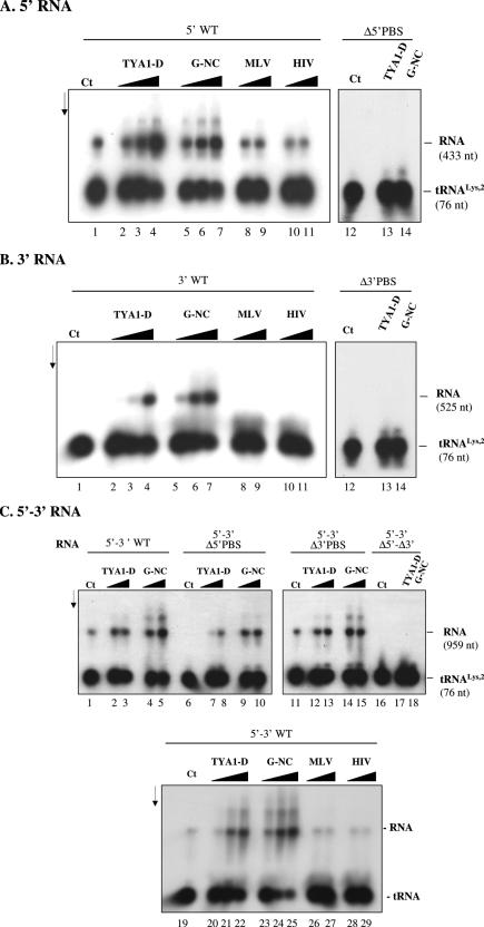 Hybridization of primer tRNA Lys,2 to the Gypsy 5′ and 3′ PBSs. Gypsy RNA and 32 P-labelled primer tRNA Lys,2 were incubated at 30°C for 5 min. RNA complexes were purified by SDS-PK treatment and phenol extraction (see Materials and Methods). The nature of the RNA, 5′ wt, Δ5′ PBS, 3′ wt, Δ3′ PBS, recombinant 5′–3′ (either wt, Δ5′ PBS, Δ3′ PBS or Δ5′–Δ3′ PBS) is indicated at the top of each panel. Panel ( A ) stands for 5′ RNA, ( B ) for 3′ RNA and ( C ) for 5′–3′ RNA. Control was with Gypsy RNA and 32 P-labelled tRNA Lys,2 but without NC protein as shown in lanes 1 and 12 (A and B), and 1 and 19 (C). (A and B): TYA1-D and Gypsy NC (G-NC) were added to the assays at protein to nucleotide molar ratios of 1:30, 1:15 and 1:7 (lanes 2–4 and 5–7, respectively). MLV and HIV-NC peptides were at peptide to nt molar ratios of 1:15 and 1:7 (lanes 8–9 and 10–11, respectively). When the Δ5′ PBS RNA or the Δ3′ PBS RNA was used, the peptide to nt ratio was 1:7 (lanes 13–14). Note that primer tRNA Lys,2 annealed at a low level to the 5′ RNA without the chaperone [(A) lane 1] and annealing was optimal at protein to nt molar ratios of 1:15 to 1:7 [lanes 3–4 and 6–7 in (A)]. Quantifications made by laser scanning indicated that total percentages of tRNA annealed to the 5′ PBS increased from 15–20 to 55–65% upon addition of TYA1-D and G-NC, but did not change after addition of the MLV and HIV peptides (average values of three independent assays). Primer tRNA Lys,2 did not anneal to the 3′ RNA without chaperone [(B), lane 1] and annealing was optimal at protein to nt molar ratio 1:7 (lanes 4 and 7). Quantifications made by laser scanning indicated that total percentages of tRNA annealed to the 3′ PBS increased from 0 to 40–50% upon addition of TYA1-D and G-NC, but did not change after addition of the MLV and HIV peptides (average values of three independent assays). (C): TYA1-D and Gypsy NC (G-NC) were added to the assays at protein to nucleotide molar ratios of 1:15 and 1:7 (lanes 2–3,