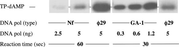 Formation of TP-dAMP complex catalysed by Nf and GA-1 DNA polymerases. The assays were performed as described under Materials and Methods in the presence of 1 mM (for GA-1 and φ29 DNA polymerases) and 2 mM (for Nf DNA polymerase) MnCl 2 , 5 ng of TP, 500 ng of TP-DNA, 0.1 μM [α- 32 <t>P]dATP</t> (1 μCi), and the indicated amounts of DNA polymerase. After incubation at 30°C for the indicated times, samples were analysed by SDS–PAGE and autoradiography. The position of the TP-dAMP initiation complex is indicated. Quantification was by densitometry of the band corresponding to the labelled TP-dAMP complex, detected by autoradiography.