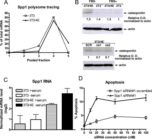 Validation of osteopontin (Spp1) as a translationally activated antagonist of apoptosis. ( A ) RT–PCR quantification of the osteopontin transcript across the polyribosome gradient. Adjacent polyribosome fractions were paired, and osteopontin transcript was quantified by RT–PCR. ( B ) Representative experiment showing osteopontin protein levels in NIH 3T3 and NIH 3T3/4E cells after 16 h serum starvation (upper panel); and osteopontin levels in NIH 3T3/4E cells 48 h after transfection with osteopontin siRNA#1-scrambled (SCR), osteopontin siRNA#1 (os1) and osteopontin siRNA#2 (os2) at 20 nM. ( C ) Osteopontin total mRNA levels in NIH 3T3 and NIH 3T3/4E cells in complete (serum +) and media lacking serum (serum −). (Error bars indicate standard deviation from two independent measurements.) ( D ) Apoptotic frequency of NIH 3T3/4E cells 48 h after serum withdrawal in response to osteopontin (Spp1) siRNA#1 or osteopontin (Spp1) siRNA#1-scrambled siRNA. (Error bars indicate standard deviation from two independent experiments.)