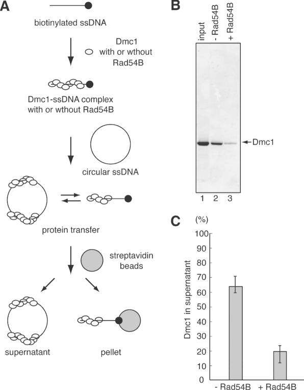 Pull down assay for the protein transfer between ssDNA molecules. ( A ) A schematic diagram of the pull down assay. Dmc1 and biotinylated DNA form a complex in the absence or presence of Rad54B. Then, circular ssDNA is added as a competitor, and protein transfer occurs. Biotinylated DNA is immobilized on streptavidin beads, and the reaction mixture is divided into the beads and supernatant. ( B ) Dmc1 (5 µM) was incubated with SAT-120 (20 µM) labeled with biotin at the 5′ end in the absence (lane 2) or presence (lane 3) of Rad54B (200 nM), followed by an incubation with φX174 circular ssDNA (2 mM). After immobilization on streptavidin beads for 1 h at 4°C, the reaction mixture was divided into the beads and the supernatant by centrifugation. Then, one-tenth of the supernatant was fractionated on a 4–20% gradient SDS–PAGE gel. Lane 1 is one-tenth of the input protein. ( C ) Graphic representation of the experiments shown in (B). The amounts of Dmc1 within the supernatant are presented.