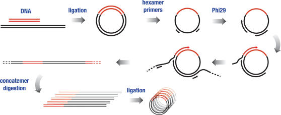 In vitro amplification of ligation reactions. Linear fragments were joined into recombinant, circular units by treatment with DNA ligase. Hexamer primers were annealed and Phi29 polymerase added. This causes extensive amplification of circular species through rolling-circle replication and the formation of extended linear concatemers. The concatemers were cleaved by restriction digestion and re-circularized using DNA ligase.