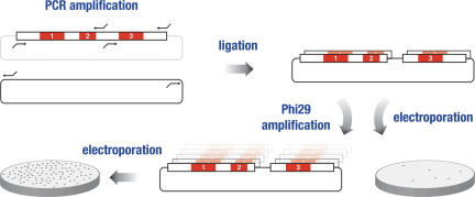 Antibody repertoire by combinatorial ligation. Regions corresponding to CDRs 1/2 and CDR 3 were PCR-amplified and recombined by ligation into a PCR-amplified phagemid vector backbone. The ligation reactions were either directly electroporated or amplified using <t>Phi29</t> polymerase followed by electroporation into E.coli bacteria.