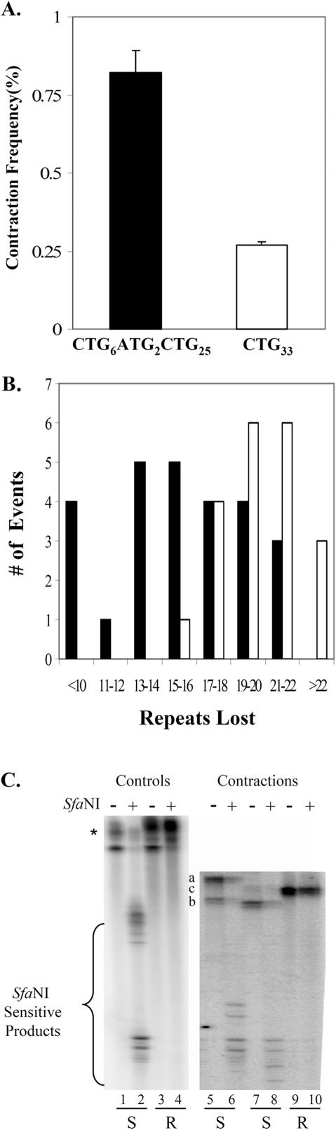 Influence of interruptions on CTG repeat contractions in SVG-A cells. ( A ) Corrected contraction frequencies ( Table 1 , entries 9L and 9M) are plotted for starting tracts of (CTG) 6 (ATG) 2 (CTG) 25 (filled bar) and for (CTG) 33 (unfilled bar). Error bars indicate ±1 SEM. ( B ) Mutation spectra for (CTG) 6 (ATG) 2 (CTG) 25 (filled bars) versus (CTG) 33 (unfilled bars). The number of observed events is plotted on the ordinate versus the size of the contraction (as determined by PCR) on the abscissa. ( C ) Representative gel showing results of the SfaNI-resistance assay. PCR products were analyzed on 6% denaturing polyacrylamide gels prior to (odd number lanes) or following (even number lanes) treatment with SfaNI, as described in Materials and Methods. Lanes 1–4 show results with PCR products from control 33-repeat plasmids that are interrupted (lanes 1 and 2) or perfect (lanes 3 and 4). The asterisk indicates the starting position of the 33-repeat uncut and SfaNI-resistant perfect repeat tracts. Lanes 5–10 show results with PCR products from contractions of the (CTG) 6 (ATG) 2 (CTG) 25 allele in SVG-A cells. The letters a–c indicate the position of the uncut samples in lanes 5, 7 and 9, respectively. The letters below the gel image indicate the assignment of SfaNI sensitivity (S) or resistance (R). To become resistant, both ATG interruptions must be lost.
