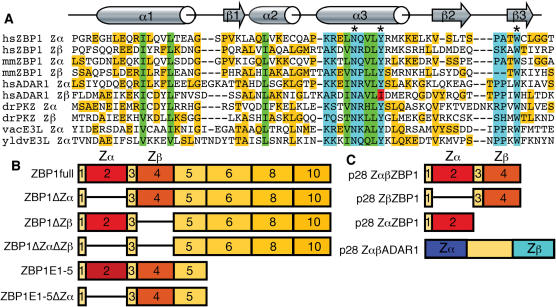 Comparison of Zα domains ( A ) and schematic representation of constructs used for transfections ( B ) and protein expression ( C ). Comparison of Zα domains of human (hs) and mouse (mm) ZBP1, human ADAR1, zebrafish (dr) PKZ, vaccinia virus (vv) E3L and yaba-like disease virus (yldv) E3L is shown (A). The structures of the mouse (mm) Zα ZBP1 , human (hs) Zα ADAR1 , yaba-like disease virus (yldv) Zα E3L domains have been determined in complex with Z-DNA. Residues that make contact with Z-DNA, or the analogous residues in other Zα domains, are boxed in light blue. Asterisks mark the conserved asparagine and tyrosine residues that have been mutated in this study in hsZBP1, as well as a conserved tryptophan. Residues that form the hydrophobic core are boxed in green. Residues that are neither DNA contacting nor structural but match the consensus sequence are highlighted in yellow. Isoleucine 335 in Zβ ADAR1 is highlighted in red. (B) The exon composition of the most prominent ZBP1 splice variants ZBP1full and ZBP1ΔZα as well as that of artificial constructs are shown. Exon 7 is rarely found in mRNA. Exon 9 contains an alternative termination site ( 22 ). ZBP1full and ZBP1ΔZα have been expressed as un-tagged or GFP tagged proteins in HeLa cells. ZBP1ΔZβ, ZBP1ΔZαΔZβ, ZBP1E1-5 and ZBP1E1-5ΔZα were expressed as GFP-tagged proteins. Schematic representation of the exon composition of constructs expressed from pET28a (p28) vectors in E.coli are shown in (C).