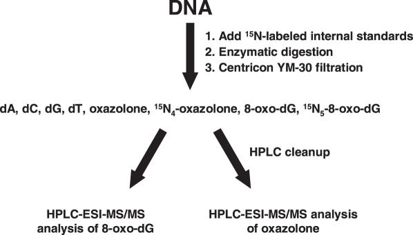 Experimental scheme for HPLC-ESI-MS/MS analysis of 8-oxo-dG and oxazolone in DNA.