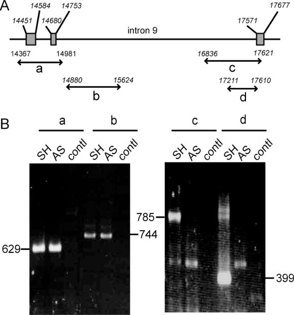 Identification of a deletion spanning the intron9/exon 10 junction of SK-N-AS p53 gene. ( A ) Schematic representation of p53 gene from intron 7 to intron 10 with the position of amplified fragments; ( B ) PCR fragments amplified from SH-SY5Y (SH) and SK-N-AS (AS) DNA with the primer pairs a, b, c and d. The primer sequences are given in Table 1 ; contl: PCR performed in parallel without DNA.