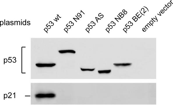 Western blot showing induction of p21/WAF1 protein by plasmid-recombinant expression vector of p53 variant transfected into p53-negative LAN-1 cells. LAN-1 cells were seeded onto 6-well plates. At a density of ∼60%, confluence cells were transfected with recombinant vector using Lipofectamine 2000 reagent according to the supplier's instructions (Invitrogen). To ascertain the transfection efficiency, cells were transfected in parallel experiments with pEGFP-C1 vector (Promega). The empty vector was used as a control. As shown in Figure 1 , note that the p53 protein from the IGR-N-91 cells analyzed by SDS–PAGE migrated more slowly than the wild-type p53 due to duplication of exons 7-8-9 as described previously ( 13 ).