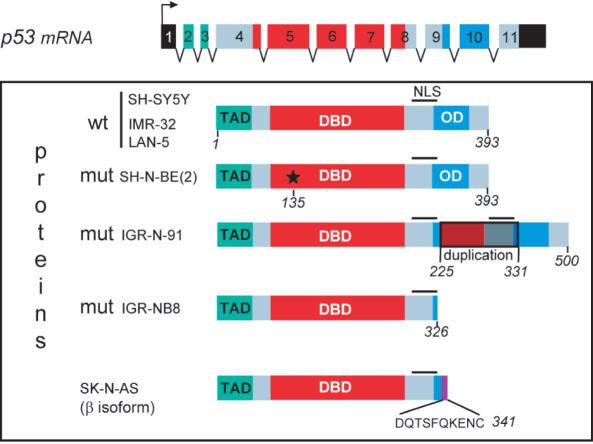 Structure of p53 proteins in different neuroblastoma cell lines. The three functional domains are represented: TAD, transactivation domain; DBD, DNA-binding domain; OD, oligomerization domain. The wild-type p53 gene in SH-SY5Y, IMR-32 and LAN-5 cells contains 11 exons that encode 393 amino acids. In SK-N-BE(2) cells, p53 is mutated at codon 135 ( * ), which converts cysteine to phenylalanine. In IGR-N-91 cells, a duplication of exons 7-8-9 adds an additional 107 amino acids leading to a total of 500. In SK-N-AS cells, a mutation due to alternate splicing downstream of exon 9 leads to a protein of 341 amino acids whereas in IGR-NB8 cells, the p53 protein ends at 326 amino acids owing to the mutation E326STOP.