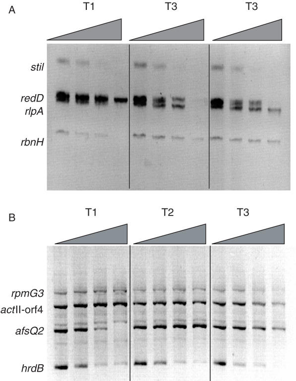 In vivo DNase I sensitivity determined by Southern hybridization analysis. DNA harvested from mycelium taken from each time point was treated with increasing amounts of DNase I, digested to completion with restriction enzymes and used in Southern hybridization assays. Blots were hybridized with mixtures of probes for ( A ) rbnH , redD , rlpA and sti1 and ( B ) act II-orf4, afsQ2 , hrdB and rpmG3 . The positions of the genomic bands for each gene are indicated, with the amount of DNase I used increasing from left to right.