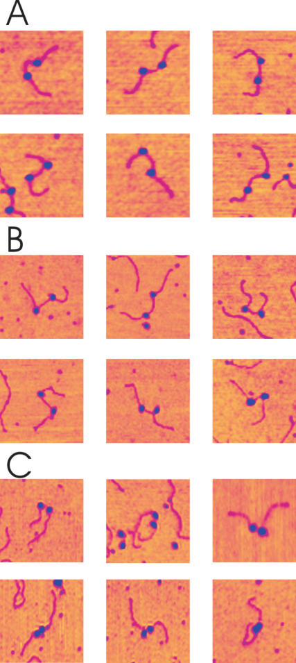Montage of AFM images of stalled elongation complexes (SEC) and collided complexes. ( A ) OPC formed in the absence of NTPs. ( B ) SEC formed in the presence of <t>ATP,</t> GTP and <t>UTP.</t> ( C ) Collided complexes formed by addition CTP to the reaction mix. Two populations of complexes exist with varying RNAP separations, ones with relatively large, non-contacting separations (top row), and others apparently in contact (bottom row). Image size: 250 × 250 nm.