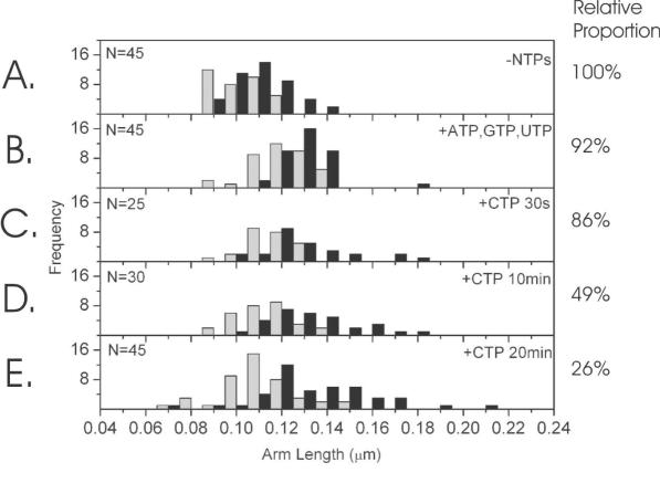 DNA arm contour length distributions: the grey distribution denotes the short arm and black, the long arm. The DNA contour lengths from the apparent centre of the RNAPs to the respective ends of the DNA molecule: ( A ) in the absence of NTPs ( n = 45); ( B ) in the presence of ATP, GTP and UTP only ( n = 45); and incubation with the final NTP, CTP for ( C ) 30 s, ( D ) 10 min and ( E ) 20 min ( n = 25, 30, 45 respectively). The percentages on the right represent the proportion of DNAs within the distribution with 2 RNAP bound, compared to bare DNA and DNA with 1 RNAP bound. The values are normalised to the −NTPs case (panel A).