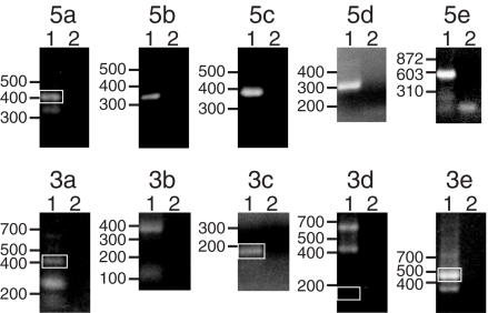Representative 5′ and 3′ RACE reactions. Each panel is an ethidium bromide stained agarose gel of RACE reactions. Above each panel is a 5′ end or 3′ end designation (5a–5e or 3a–3e, respectively) used for discussion purposes. Lanes 1 and 2 are the experimental and control lanes, respectively. The sources of RNA for the reactions shown were Oregon-R adults (5a, 5c, 5d, 3c, 3d and 3e), S2 cells (5b and 3b), Mk-G(II)12 adults (5e) or Mk-G(II)12 third instar larvae (3a). The TART primers used for the reactions shown were as follows (both outer and inner primers are listed for reactions in which two rounds of PCR with nested primers were used): 5a: TR1 + TR2; 5b: TR6 + TR7; 5c: TCR1 + TCR2; 5d: TAB1; 5e: ADR1 + ADR2; 3a: TA53 + TA54; 3b: TA51 + TA52; 3c: TA3; 3d: TR8 + TR9; and 3e: TA31. White boxes indicate products (which in some cases are very faint) that either corresponded to the major 5′ end used for sequence comparisons (5a) or that met our criteria for representing polyadenylation sites (3a, 3c, 3d and 3e), as determined by sequencing of cloned products (see Materials and Methods). The migration of DNA standards (in bp) is indicated to the left of each panel.