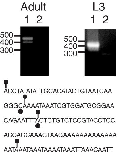 5′ RACE confirms the location of transcription intiation in HeT-A. The two panels show ethidium bromide stained agarose gels of 5′ RACE reactions using the HeT-A outer and inner primers HR1 and HR2. The sources of RNA were Oregon-R adults or third instar larvae, as indicated. Lanes 1 and 2 correspond to the experimental and control lanes, respectively. The migration of DNA standards (in bp) is indicated to the left of each panel. Below the panels is a sequence corresponding to the largest cloned RACE product obtained from adult RNA. Positions 1–92 and 111–137 are 91/92 and 27/27 matches, respectively, to positions 6999–7090 and 7136–7162 in HeT-A 23Zn (accession no. U06920). Filled circles below two bases indicate the previously identified transcription initiation sites ( 18 ). Lines ending in squares indicate the sites corresponding to three RACE products obtained from adult RNA and a line ending in a circle indicates the site corresponding to the major RACE product from L3 RNA.
