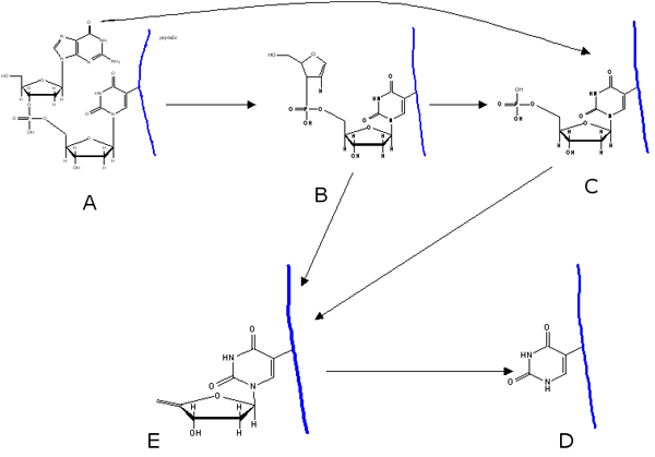 Possible ion structures for the fragmentation of tryptic peptide crosslinked to the dinucleotide (dGdU) after DNase I digestion as proposed by Golden et al [31] . The blue line on the right of each diagram represents the peptide moiety in the heteroconjugate.