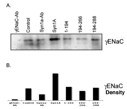 Syntaxin1A domains modulate ENaC expression at the cell surface - HT-29 cells were transfected with wild-type syntaxin1A and its truncated constructs. Cell surface proteins were biotinylated with Sulpho-NHS-SS-biotin, pulled down with streptavidin-agarose separated by SDS-PAGE and transferred to PVDF membrane. The blots were probed with γENaC antibody (A). The protein was analyzed by densitometry (B). The data reflect increased expression of ENaC in HT-29 cells transfected with syntaxin1A, which is reflected in enhanced amiloride-sensitive currents reported in the text. Data represent three individual experiments each performed with different batches of HT-29 cells.