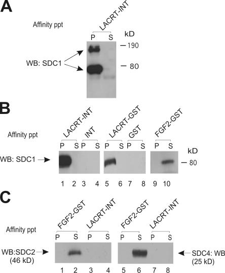 Lacritin binding to SDC1 is independent of complete HS/CS glycosaminoglycans.  (A) Lacritin affinity precipitation of human SDC1 multimers stably expressed by HEK293T cells. Lacritin-intein beads were incubated with cell lysates, washed extensively, and treated with heparitinase I/chondroitinase ABC. Pellet (P) and supernatant (S) from the centrifuged digest were then blotted with mAb B-B4 for SDC1 core protein. (B) Lacritin-intein, lacritin-GST, FGF2-GST, intein, and GST beads were incubated with lysates from the same HEK293T cells stably expressing human SDC1. Precipitates were washed, treated, centrifuged, and blotted as in A. (C) Lacritin-intein and FGF2-GST beads were incubated with lysate of HEK293T cells stably expressing human SDC2 or lysate of another HEK293T cell line stably expressing human SDC4. Beads were washed, treated, and centrifuged as in A. Blots were detected with anti-SDC2 mAb L-18 or anti-SDC4 mAb N-19, respectively. A shows both 190- and 80-kD bands. B and C and all subsequent figures show the 80-kD band, which is more predominant in HEK293T transfectants.