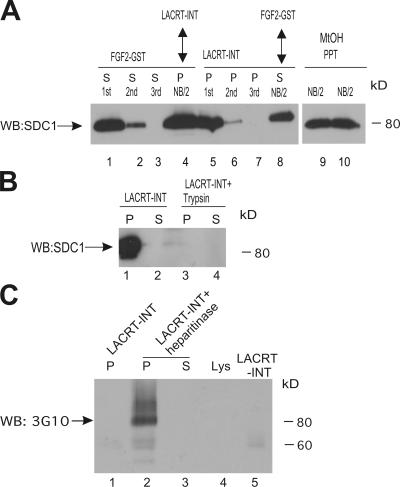 Lacritin and FGF2 bind different forms of cell surface SDC1.  (A) Sequential affinity precipitation assays. Lanes 1–3 show lysate from human SDC1 stably expressing HEK293T cells sequentially incubated with three rounds of fresh FGF2-GST beads. Half of the final depleted lysate was then incubated with lacritin-intein beads (lane 4), and the other half was methanol precipitated (lane 9). Similarly, in lanes 5–7, a different aliquot of lysate from the same cells was sequentially incubated with three rounds of fresh lacritin-intein beads. Half of the final depleted lysate was then incubated with FGF2-GST beads (lane 8), and the other half was methanol precipitated (lane 10). Beads were washed and treated with heparitinase I/ chondroitinase ABC. The digests were centrifuged, and pellets (P) and supernatants (S) were blotted with mAb B-B4 for SDC1 core protein. Shown are digest supernatants (lanes 1–3 and 8) and pellets (lanes 4–7) as per heparitinase release of FGF2-bound or resistance of lacritin-bound SDC1, respectively. (B) HEK293T cells stably expressing human SDC1 were either lysed as usual or first briefly trypsinized (
