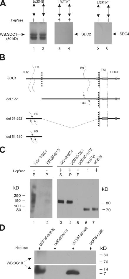 Bacterial heparitinase digestion exposes FGF2-bindable SDC1 to lacritin binding via a domain in SDC1's N-terminal 50 amino acids.  (A) Human SDC1 (lanes 1 and 2), SDC2 (lanes 3 and 4), and SDC4 (lanes 5 and 6) from stably expressing HEK293T cells were individually purified on FGF2-GST, eluted (0.5 and 1 M NaCl), treated with heparitinase I/chondroitinase ABC for 2 h, and incubated with lacritin-intein beads. Blotting is with mAb B-B4 for SDC1, polyclonal antibody L-18 for SDC2, or polyclonal N-19 for SDC4—all core protein specific. (B) Schematic diagram of human SDC1. The dotted line indicates truncation sites in the ectodomain forming the deletion constructs del 1–51, 51–252, and 51–310. Boxes represent PSIPRED-predicted α helices. Wavy lines represent HS and CS. TM, transmembrane domain. (C) Comparative incubation of FGF2-GST and lacritin-intein beads with human SDC1 or human SDC1 del 1–51 lysates from stably expressing HEK293T cells. After incubation, beads were washed extensively and either treated with heparitinase I/chondroitinase ABC (+) or left untreated (−). Beads were centrifuged, and pellets (P) and supernatants (S) were blotted with mAb B-B4 for SDC1 core protein. Lysate from HEK293T cells stably expressing SDC1 del 1–51 is blotted in lanes 6 and 7. (D) Comparative incubation of lacritin-intein beads with human SDC1 del 51–252, 1–51, or 51–310 lysates from stably or transiently expressing HEK293T cells. pcDNA is lysate from cells transfected with vector only. After incubation, beads were washed extensively and treated with heparitinase I/chondroitinase ABC. Beads were centrifuged, and pellets were blotted with mAb 3G10 for desaturated uronates in SDC1.