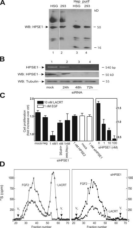 Heparanase is expressed by HEK293T and HSG cells and is required for lacritin-dependent mitogenesis. (A) Lysates of HSG cells (lane 1) and HEK293T cells stably expressing human SDC1 (lanes 2) versus 2 M NaCl eluant of each after incubation with HiTrap heparin affinity columns (lanes 3 and 4, respectively). Blotting is with polyclonal anti–human heparanase-1 (HPSE1) antibody. (B) Lysates from HSG cells that had been mock transfected or transfected with 1 nM heparanase-1 siRNA. Blotting is with polyclonal anti–human HPSE1 or anti-tubulin antibodies. (C) Proliferation assay in which HSG cells were treated with 10 nM lacritin or 1 nM EGF 48 h after being mock transfected or transfected with 10 nM of Ambion's negative control siRNA #1 (neg), 1–100 nM HPSE1 siRNA, or 1 nM HPSE2 siRNA. Some HPSE1 siRNA cells were lacritin treated for 24 h in the presence of 1 μg of heparanase-enriched eluant (A) from HEK293T cells stably expressing SDC1 (1 nM + HPSE) or 0.0001 U of bacterial <t>heparitinase.</t> Error bars indicate SEM. (D) Sepharose CL-6B gel filtration chromatography of HS from lacritin and FGF2 affinity enriched SDC1 isolated from normal or HPSE1-depleted HSG cells. Lysates from cells labeled with 50 μCi/ml Na 2 35 SO 4 in DME for 48 h were affinity precipitated with FGF2-GST or lacritin-intein. Equal microgram amounts of SDC1 bound to beads were digested with chondroitin ABC lyase to remove CS, eluted with 2 M NaCl, and subjected to NaBH 4 eliminative cleavage. Released HS was neutralized by drop-wise addition of 1 M HCl and subjected to Sepharose CL-6B gel filtration chromatography to compare the relative size of HS chains. V 0 , void volume (dextran blue); V t , total volume (sodium dichromate).