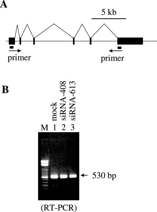 RT–PCR analysis. ( A ) The DHFR gene structure is diagramed. Black boxes indicate exons. Primer sets used for PCR are shown. ( B ) Poly(A) + RNA from control mock-transfected (lane 1) or from siRNA-408 and siRNA-613 transfected CFIm25 knocked-down (lanes 2 and 3) <t>HeLa</t> cells were reverse transcribed using an <t>oligo-dT</t> primer, and then DHFR cDNA fragments were amplified by PCR. A 100 bp DNA ladder was loaded in lane M.