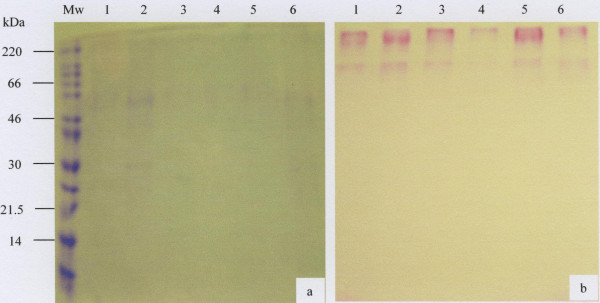 SDS-PAGE analysis of the salivary mucus eluted in the V o of the <t>Sepharose</t> <t>CL-4B</t> gel filtration column. Freeze-dried material (30 μg) of the V o prepared in reducing gel loading buffer was separated by 10% SDS-PAGE and stained with Coomassie Brilliant Blue G-250 (a) and PAS (b). The molecular weight marker is indicated by Mw and lanes 1 to 6 represents samples from 6 donors.