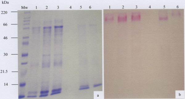 SDS-PAGE analysis of the salivary mucus eluted in the V i of the Sepharose CL-4B gel filtration column. Freeze-dried material (30 μg) of the V i prepared in reducing gel loading buffer was separated by 10% SDS-PAGE and stained with Coomassie Brilliant Blue G-250 (a) and PAS (b). The molecular weight marker is indicated by Mw and lanes 1 to 6 represents samples from 6 donors.