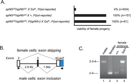 Sxl Splicing Is Compromised in a spf45 Loss-of-Function Background (A) Synergistic genetic interactions between Sxl and spf45 J23 leads to female lethality. In these assays females of the indicated genotype were mated to either Sxl f1 /Y males or Sxl + /Y control males and the resulting progeny scored. On the assumption that an equal number of male and female progeny should be generated from each cross, the percent female viability was calculated by comparing the number of females recovered with the number of males recovered. (B) Diagram of the Sxl reporter construct that mirrors native Sxl splicing in all tissues tested. The arrows below the construct indicate the position of the PCR pairs used for RT–PCR. (C) Synergistic lethal interactions between Sxl and spf45 J23 are correlated with Sxl splicing defects. Splicing was assayed by an RT–PCR-based assay using RNA isolated from a pool of embryos in which only the female embryos carry the reporter construct (lanes 3 and 4). In lane 4, this pool of embryos was collected from spf45 J23 homozygous females crossed to males carrying an X chromosome that carries both Sxl f1 and a copy of the Sxl reporter construct. Controls include splicing of the reporter construct in adult males (lane 1), splicing of the reporter construct in adult females (lane 2), and Sxl + embryos collected from spf45 J23 homozygous mothers (lane 3).