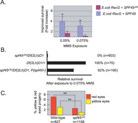 SPF45 Function Is Required to Repair DNA Damage (A) Ectopic expression of SPF45 improves the survival rate of E. coli recG mutants after MMS exposure. The survival was expressed as the average-fold increase in survival over the control E. coli recG mutants. Error bars are standard deviations calculated from five independent experiments. An unpaired t test was performed to assess whether there is a statistically significant difference between survival rates of an E. coli recG strain expressing a D. melanogaster protein (either SPF45 J23 or SPF45 + ) and the survival rate of the same E. coli recG strain expressing an empty GST vector . Asterisks denote differences significant at the 95% level ( p