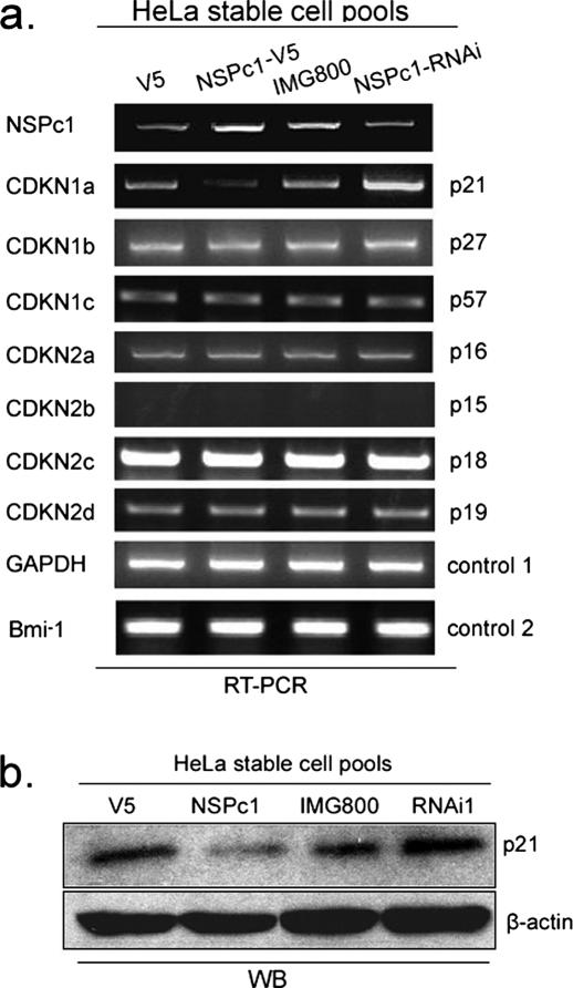 NSPc1 specifically represses the expression of the CDK inhibitor p21. ( a ) Semi-quantitative RT–PCR results (normalized by GAPDH level) show the expression level of CDKIs in various HeLa stable cell pools. Bmi-1 was detected as a control of NSPc1-RNAi specificity. Similar results were observed in three independent experiments. ( b ) Western blot results confirmed that the expression levels of p21 protein in various stable cell pools were reversely correlated with NSPc1 (normalized by β-actin protein level).