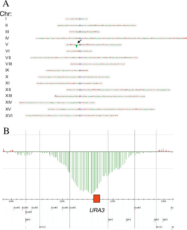 Identifying a Unique Ty1 Element in Otherwise Isogenic Strains (A) Two isogenic yeast strains (FY5 and FY2) differ only by the presence of a Ty1 insertion in Chromosome V within the URA3 gene in FY2. After labeling transposon extracted DNA from FY2 with Cy3 (green) and transposon extracted DNA from FY5 with Cy5 (red), the labeled DNA was hybridized to an Agilent yeast whole genome microarray with > 40,000 unique features (yeast repetitive DNA was avoided during array construction). Log 2 ratio of hybridization for each feature along each chromosome is shown plotted in genome order using the TreeView Karyoscope function. The one region of significant differential hybridization is marked with an arrow. The grey horizontal lines above and below each chromosome correspond to 3-fold differential hybridization intensity. (B) Zoom view of a portion of Chromosome V and the peak of differential hybridization corresponding to the ∼8 kb surrounding URA3 (red box). The positions of nearby restriction sites for the enzymes used initially to digest genomic DNA are shown based on a GBrowse view of the region from SGD.