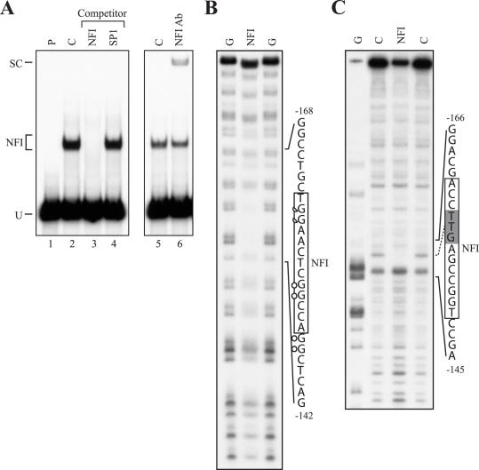 In vitro DMS and DNase I footprinting of NFI binding to the p21 promoter. ( A ) The 5′ end-labeled 83 bp SmaI–HindIII fragment from the p21–192 plasmid that covers p21 promoter sequences from −110 to −192 was incubated with 2 μg nuclear proteins from a CM-Sepharose-enriched preparation of rat liver NFI in the presence of either no (C; lanes 2 and 5) or a 150-fold molar excess of unlabeled competitor oligomers (NFI or Sp1; lanes 3 and 4, respectively) Formation of DNA–protein complexes was then monitored by EMSA on a 4% native polyacrylamide gel. The position of the NFI/p21–192 DNA–protein complex is indicated (NFI). The −110/−192 labeled probe was also incubated with 2 μl of the NFI Ab to monitor the formation of the NFI/NFIAb/p21 protein–protein–DNA supershifted complex (SC in lane 6). P: labeled probe with no added protein (lane 1). U: unbound fraction of the labeled probe. ( B ) The labeled probe used in A was methylated with DMS and incubated with CM-Sepharose-enriched NFI before separation of the DNA–protein complex by EMSA. Both the labeled DNA from the NFI complex (NFI in panel A) and the unbound fraction of the probe (U in panel A) were isolated and further treated with piperidine before being analyzed on a 8% polyacrylamide sequencing gel. The DNA sequence from the p21 promoter that includes the protected G residues (full and half circles correspond to fully and partly protected G residues, respectively) is indicated along with its positioning relative to the p21 mRNA start site. The p21 NFI target site is also indicated (box). ( C ) A 228 bp DNA fragment spanning p21 promoter sequences from position −192 to +36 was 5′ end-labeled and incubated with 75 μg CM-Sepharose-enriched NFI before being digested with DNase I. The position of the NFI site protected from digestion by DNase I is shown (shaded box) along with that of the p21 NFI site identified by in vivo footprinting (full line box). G: Maxam and Gilbert 'G' sequencing ladder; C: labeled DNA digested by