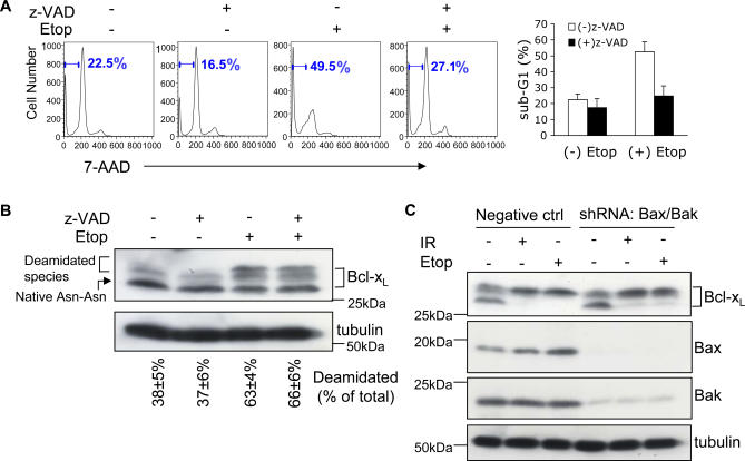 DNA Damage–Induced Bcl-x L Deamidation Is Mitochondrial Apoptosis–Independent (A) Wild-type thymocytes were pre-incubated with or without Z-VAD-fmk (200 μM), and were then cultured with or without etoposide for 24 h, harvested, and apoptosis was measured by measuring the sub-G1 peak by flow cytometry. The histograms (right panel) represent mean values ± SD ( n = 3). (B) Aliquots of the cells from (A) incubated in the presence or absence of Z-VAD-fmk (200 μM) were analysed for the expression of Bcl-x L and tubulin (as loading control) by immunoblotting. The upper and lower bands of Bcl-x L were quantified and expressed as a percentage of total Bcl-x L . The percentages shown below each lane are means ± SD ( n = 3). (C) Plasmids of shRNA Bax (GFP) and shRNA Bak (DsRed) were cotransfected into purified DN thymocytes using an Amaxa nucleofactor kit. 48 h later, GFP + DsRed + cells were purified by flow cytometry and treated with etoposide (Etop, 25 μM) for 30 h or exposed to irradiation (IR, 5 Gy) followed by 30 h in culture. DN thymocytes transfected with negative control plasmids were treated in parallel. Cells were then processed for immunoblotting with Bcl-x L antibody. The immunoblot was reprobed for Bax and Bak to check the efficiency of gene knockdown. Tubulin was also reprobed as a loading control.
