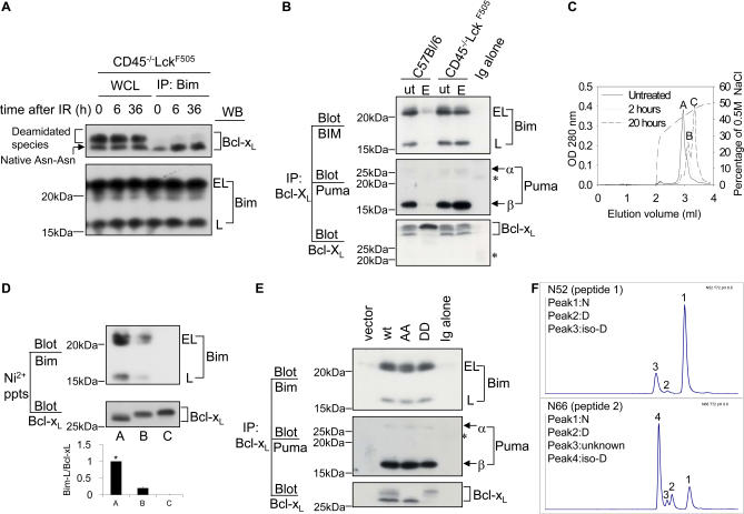 """Deamidation Disrupts the Sequestration of BH3-Only Proteins by Bcl-x L (A) Bim binds to the native (Asn-Asn) but not deamidated forms of Bcl-x L . Wild-type (C57BL/6) thymocytes (1.5 × 10 7 ) were exposed to 5 Gy irradiation (IR) and then maintained in culture for the times shown, after which cells were lysed and either separated as whole cell lysates (WCL) or as Bim immunoprecipitates, followed by immunoblotting for either Bcl-x L or for Bim. Bim migrates as """"extra-long"""" (EL) or """"long"""" (L) forms. (B) Bcl-x L was immunoprecipitated from lysates derived from purified DN thymocytes treated with/without etoposide (ut/E), followed by immunoblotting for Bim or Puma. The asterisk indicates the light chain of the Bcl-x L antibody used for immunoprecipitation. (C) Anion exchange chromatography of purified rBcl-x L . Sample A was untreated; samples B and C were exposed to pH 8.8 at 37 °C for 2 h and 20 h, respectively. The Figure illustrates superimposed elution profiles for each sample. Peaks A, B, and C had molecular masses of 25, 015.6; 25, 016.4, and 25, 017.2, respectively. (D) Bim binds to native but not to deamidated rBcl-x L . The three different forms of Bcl-x L (A, B, and C) purified by anion-exchange column chromatography shown in (C) were incubated in wild-type thymic lysates (1.5 × 10 7 cell equivalents) at 4 °C for 2 h and then precipitated using nickel beads. The precipitated products were immunoblotted for Bim and Bcl-x L . Quantification of the Bim-L/Bcl-x L ratios ± SD from three independent experiments is shown in the histogram, with the lane A ratio normalised to 1 (*). (E) Primary thymocytes were retrovirally transduced with empty vector or Bcl-x L constructs (wild-type, N52A-N66A, or N52D-N66D). Bcl-x L was immunoprecipitated from lysates derived from 1.5 × 10 6 sorted GFP-positive cells per lane, followed by immunoblotting for Bim or Puma. Note that in the vector lane, at this exposure endogenous Bcl-x L is not visible because of the small number of ce"""