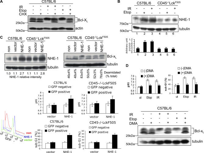 Bcl-x L Deamidation Induced by DNA Damage Involves Up-Regulation of the NHE-1 Na/H Antiport (A) Bcl-x L deamidation induced by DNA damage requires de novo protein synthesis. Wild-type thymocytes were either treated with etoposide for 24 h (Etop), or exposed to 5 Gy of irradiation (IR) and then maintained in culture for 24 h, with or without 0.5 μM cycloheximide (CHX). Cell lysates were processed by immunoblotting for Bcl-x L or β-actin (loading control). (B) DNA damage causes up-regulation of NHE-1 in wild-type but not in CD45 −/− Lck F505 thymocytes. Wild-type or CD45 −/− Lck F505 thymocytes were either treated with etoposide (Etop) for 5 h, or exposed to 5 Gy of irradiation (IR) and then maintained in culture for 5 h before immunoblotting for NHE-1 or tubulin (loading control). The histogram shows the quantification of relative NHE-1 expression levels SD from five independent experiments. Lane 3 was defined as 1 (*). (C) Migri-NHE-1 or empty Migri vector were transduced into wild-type or pretumourigenic CD45 −/− Lck F505 thymocytes. 72 h after the first round of infection, cells were immunoblotted for NHE-1 and Bcl-x L . NHE-1 expression levels (NHE-1 relative intensity) were normalised for loading using tubulin values. Deamidation was calculated as in Figure 1 B. The lower left FACS histogram shows the infection efficiency for nontransfected (non), empty-vector transfected (vector), or NHE-1 transfected (NHE-1) cells as percentage GFP-positive cells. The lower right histograms show the mean pH i and apoptosis (sub-G1) values ± SD ( n = 5) analysed on GFP-negative and positive cells. (D) The NHE-1 inhibitor DMA blocks DNA damage-induced alkalinisation (top left panel), Bcl-x L deamidation (lower panel) and apoptosis (top right panel) in wild-type thymocytes. Thymocytes were treated with Etoposide for 24 h, or exposed to 5 Gy of irradiation and then maintained in culture for 24 h, with or without 200 μM DMA. pH i was measured by FACS on live CD4 − CD8 − cells, and 
