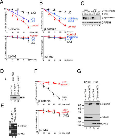 PI3K-AKT Signaling Stabilizes β-Catenin mRNA and Increases Its Expression (A) Quantitative RT-PCR analysis of both β-catenin and β2-MG transcripts in αT3-1 cells treated with either DMSO (the solvent of LY, control), DMSO plus LiCl, or LY (25 μM for 16 h) plus LiCl. Total RNA was isolated at the indicated times after the addition of actinomycin D. The values shown are averages (±SEM) of three independent experiments performed in duplicate. (B) Quantitative RT-PCR analysis of both β-catenin and β2-MG transcripts in αT3-1 cells treated with either DMSO (the solvent of triciribine, control), DMSO plus LiCl (20 mM for 6 h), or triciribine (1 μM for 1 h) plus LiCl. Total RNA was isolated at the indicated times after the addition of actinomycin D. The values shown are averages (±SEM) of three independent experiments performed in duplicate. (C) In vitro RNA degradation assays using S100s from either LiCl-treated mock αT3-1 or LiCl-treated αT3-1 cells expressing the AKT dominant negative mutant AKT1(K179M) (αT3-1–AKTDN). Internally 32 P-labeled and capped RNA substrates were incubated with S100s for the indicated times and their decay analyzed as described in Materials and Methods. (D) Either mock αT3-1 or αT3-1–myrAKT1 cells were lysed and total extracts were immunoprecipitated (Ip) with either anti-AKT antibody or control IgG (cIgG). Pellets were incubated (20 min at 30 °C) with histone 2B (H2B) in kinase buffer in the presence of [γ- 32 P]ATP. Labeled proteins were separated by SDS-PAGE and detected by autoradiography. (E) Expression of β-catenin and β2-MG, monitored by RT-PCR, in either mock αT3-1 or αT3-1–myrAKT1 cells. (F) Quantitative RT-PCR analysis of both β-catenin and β2-MG transcripts in either mock αT3-1 or αT3-1–myrAKT1 cells. Total RNA was isolated at the indicated times after addition of actinomycin D. The values shown are averages (±SEM) of three independent experiments performed in duplicate. (G) Immunoblot analysis of either S100 or nuclear extracts from the indicated cell lines with anti- β-catenin, α-tubulin, and HDAC2 antibodies.