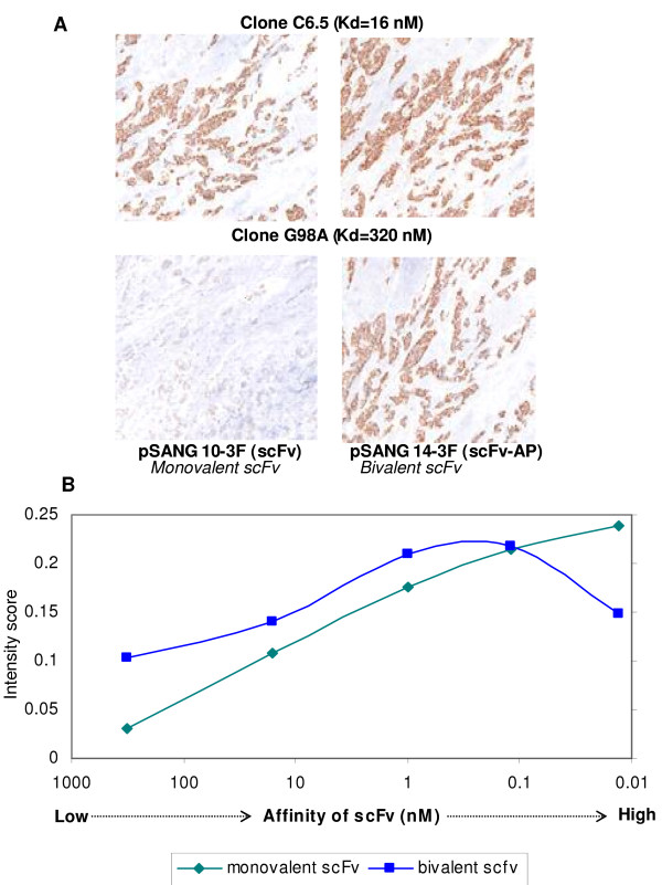 Effect of alkaline phosphatase fusion on performance in IHC. A. scFv-APs demonstrate improved sensitivity in IHC. HER2 clones are more sensitive when expressed in pSANG14-3F than pSANG10-3F Monovalent G98A, with an affinity of 320 nM, gave weakly positive staining of the antigen in breast cancer tissue. Whereas, bivalent G98A gave staining equivalent to the monomeric scFv clone C6.5, which has a 20-fold higher affinity. Bivalency does not visually improve C6.5 staining. Detection was by anti-FLAG antibody coupled to biotin with the addition of streptavidin-horse-radish peroxidase and a tyramine signal amplification step. B. Image analysis was used to quantify the staining intensities of all five scFvs as both monomeric scFv and bivalent scFv-AP.