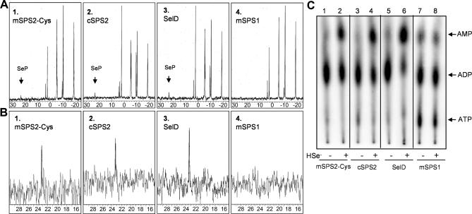 In Vitro ATP Hydrolysis Assay of Selenophosphate Synthetase and NMR Spectroscopic Analysis Cloning of the genes, mouse sps1, mouse sps2, SelD, and C. elegans sps2, and mutation of mouse sps2 to sps2-Cys and reaction conditions are detailed in Materials and Methods. For NMR analysis, 200 μl of ATP hydrolysis reaction was sealed in 3-mm NMR tubes and incubated at 37 °C for 4 h before 31 P NMR spectroscopic analysis [ 9 ]. (A) Complete 31 P-NMR spectra of ATP hydrolysis products generated with mSPS2-Cys, C. elegans selenophosphate synthetase 2, SelD, and mSPS1 are shown. (B) Expanded spectra of the ordinate and abscissa between 15 and 30 ppm for these products are shown. (C) ATP hydrolysis reactions with [α- 32 P]ATP, either without or with 0.25 mM selenide, incubated with mSPS2-Cys, C. elegans selenophosphate synthetase 2, SelD, or mSPS1; at the end of the incubation period, reactions were loaded onto PEI TLC plates, run in 0.8 M LiCl, and exposed to a PhosphorImager screen as described in Materials and Methods.
