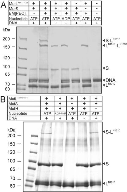Crosslinking of E.coli MutL N131C to MutS. ( A ) Crosslinking was performed using E.coli MutS (400 nM), MutL N131C (1000 nM) and a 484 bp DNA substrate (100 nM) in the presence of the indicated nucleotide (1 mM) as detailed in Materials and Methods. BM[PEO] 4 was added to a final concentration of 50 μM and the reaction was incubated for 1 min at 37°C. Crosslinking was quenched by addition of 50 mM DTT, and the products were separated by SDS–PAGE and protein bands were visualized by colloidal Coomassie staining that also stains DNA. Note that the additional band attributed to a MutS–MutL N131C crosslink (S–L N131C ) is only observed in the presence of both ATP and DNA. ( B ) Photocrosslinking of MutL N131C was carried out in the presence or absence of MutH C96S . Both proteins were pre-incubated at 10 and 2.5 μM, respectively, with 500 μM MBP in the presence of 4 mM nucleotide, ATP or AMP–PNP, for 30 min at room temperature. Reactions were stopped by adding DTT. For photocrosslinking, 2 μM modified MutL, 500 nM MutH, 1 μM MutS wt , 0.8 mM nucleotide and 25 nM 484 bp mismatch DNA were irradiated for 25 min at 354 nm. The products were separated by SDS–PAGE and visualized by Coomassie staining without staining the DNA.