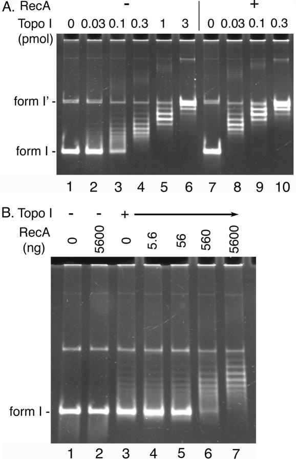 RecA stimulates Topo I-catalyzed relaxation reaction. ( A ) The standard relaxation reaction mixtures containing 100 fmol (as molecule) <t>pBR322</t> form I DNA and the indicated amounts of Topo I were incubated in the absence (−) or presence (+) of 5.6 μg (3 nt per RecA monomer) of RecA and the DNA products were analyzed as described in Materials and Methods. The assay was repeated three times and virtually identical results were obtained. Representative results are shown. ( B ) The standard relaxation reaction mixtures containing 100 fmol (as molecule) pBR322 form I DNA and either 0 fmol (−) or 33 fmol (+) of Topo I were incubated in the presence of the indicated amounts of RecA and the DNA products were analyzed as described in Materials and Methods. Two independent experiments showed essentially identical results and representative results are shown.