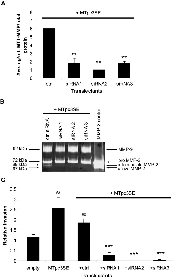 Inhibition of MT1-MMP blocks RCC tumor cell invasion . (A) and (B) WT8 cells were transfected for 48 hours with MTpc3SE and control or 3 specific MT1-MMP siRNA oligos. Each transfectant was additionally co-transfected with pCMV-eGFP. Transfection efficiency was consistent among the transfectants and was approximately 50%. A . MT1-MMP protein expression in the transfectants as quantitated by an MT1-MMP ELISA activity assay. Values represent the average [ng/mL] MT1-MMP of three transfections normalized to [μg/mL] total protein and are representative of three experiments (mean+/-S.D.); P