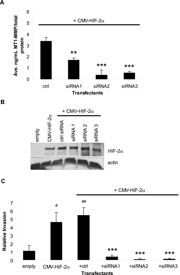 Specific inhibition of MT1-MMP blocks HIF-2α mediated RCC tumor cell invasion . A . MT1-MMP protein expression as quantitated by an MT1-MMP ELISA activity assay. WT8 cells were transfected for 48 hours with pCMV-HIF-2α and a control or 3 specific MT1-MMP siRNA oligos. Each transfectant was additionally co-transfected with pCMV-eGFP. Transfection efficiency was consistent among the transfectants and was approximately 50%. Values represent the average [ng/mL] MT1-MMP of three transfections normalized to [μg/mL] total protein and are representative of three experiments (mean +/-S.D.); P