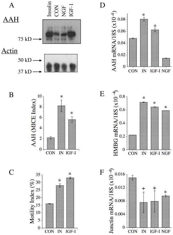 Modulation of AAH, Humbug, and Junctin expression by growth factor stimulation. Subconfluent SH-Sy5y cell cultures were serum starved over night then stimulated with vehicle (CON), insulin (50 nM), IGF-1 (25 nM), or NGF (2.5 ng/ml) for 24 hours. (A) Upper panel: Representative Western blot demonstrating AAH protein expression (~86 kD) using the HBOH monoclonal antibody. Immunoreactivity was detected with horseradish peroxidase conjugated secondary antibody, ECL reagents, and digital imaging. Lower panel-blots were stripped and re-probed to detect β-actin as a loading control. The positions of molecular weight standards included in the analysis are indicated at the left. (B) AAH immunoreactivity was measured directly in 96-well micro-cultures using the microtiter immunocytochemical ELISA (MICE) assay. The MICE index corresponds to immunoreactivity corrected for cell density. (C) Directional motility was measured in response to insulin or IGF-I stimulation using the ATP Luminescence-Based Motility/Invasion (ALMI) assay. The total percentages of motile cells (motility index), both adherent and non-adherent, were calculated (see Methods). (D-F) AAH, Humbug, and Junctin mRNA levels were measured by real time quantitative RT-PCR with results normalized to 18S. See Methods section for detailed protocols. Graphs depict mean ± S.D. of results obtained from 6 or 8 replicate independent cultures. Data were analyzed using ANOVA with the Fisher Least Significant Difference post-hoc test (+P