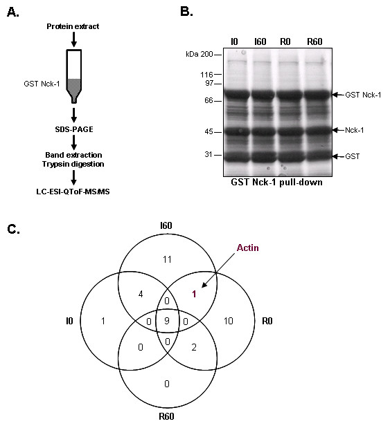 Determination of Nck-1 interactants by GST pull-down . A . Schematic representation of the approach used for tyrosine mass spectrometry identification of GST Nck-1 binding proteins. GST Nck-1 matrix: GST Nck-1 fusion protein coupled to sepharose beads. B . Representative SDS-PAGE experiment after GST Nck-1 pull-down of 0 (I0) and 60 min ischemia (I60) and 0 (R0) and 60 min reperfusion (R60) protein extract. Bands corresponding to GST Nck-1 fusion protein and cleavage products (Nck-1 and GST) are marked by arrows. N = 1 on 2 independent pools of 3 liver biopsy protein extracts. C . Venn diagram representation of the proteins identified after mass spectrometry analysis of GST Nck-1 binding proteins.