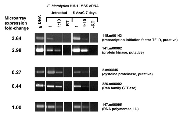 Verification of array data by <t>RT-PCR</t> . Array data were confirmed for a subset of genes by semi-quantitative RT-PCR. Total RNA was isolated from untreated and 5-AzaC treated parasites (7 days) and subjected to RT-PCR. Sequential 1:10 dilutions of cDNA were used as template for the PCR and a genomic <t>DNA</t> and minus RT control (-RT) were included. The microarray expression fold-change for each gene is shown based on average array data from 3 day and 7 day 5-AzaC treated parasites. Two genes (115.m00143 and 141.m00082) that were predicted to be upregulated (based on array data) after 5-AzaC exposure were confirmed by RT-PCR. Two genes (2.m00545 and 226.m00092) that were predicted to be down-regulated (based on array data) after 5-AzaC exposure were confirmed by RT-PCR. A gene whose expression did not change (based on array data) with 5-AzaC exposure (147.m00095) was found to be unchanged in the two conditions by RT-PCR. Primers used are given in Table 1.