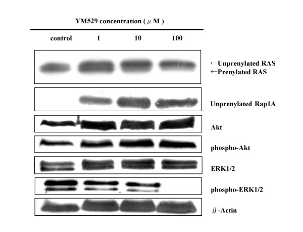 Concentration- course changes of Ras, Rap1A, Akt, phospho-Akt, ERK1/2, phospho-ERK1/2 activation in NCI-H1819 cells treated with YM529 by using Western blot. Cells were incubated in CM with 10 % FBS. Equal amounts of protein were loaded in each lane. β-Actin was used as internal control.